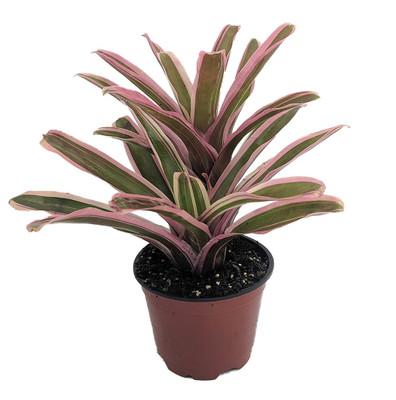 """Dongo Vase Plant - Great Houseplant - 4"""" Pot - Neoregelia - Bromeliad"""