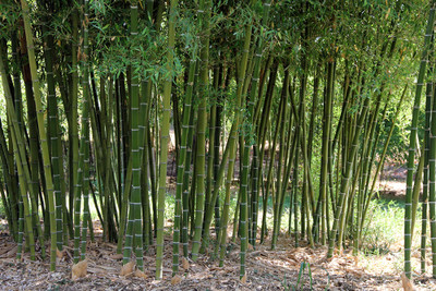 "Giant Grey Bamboo - Phyllostachys parvifolia - 4"" Pot - New/Hardy - Indoors/Out"