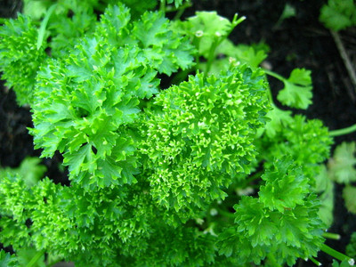 """Curly Leaf Parsley Herb - 3"""" Pot - Indoors or Out"""