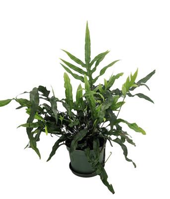 """Kangaroo Paw Fern - Microsorium diversifolium - 6"""" Pot"""