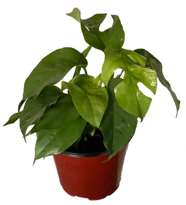 "Ultra Rare Ginny Philodendron - Rhaphidophora tetrasperma -6"" Pot- Mini Monstera"