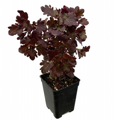 "Rare Mini Red Leaf Coleus Tree - Very Easy Houseplant to Grow - 2.5"" Pot"