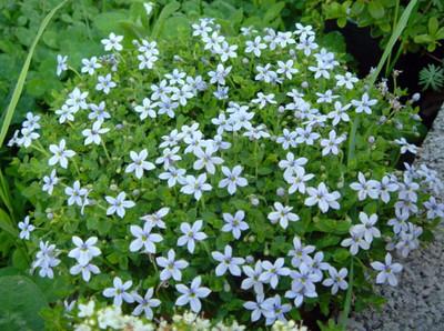 "Baby Blue Star Carpet Plant - Pratia pedunculata  - 2.5"" Pot -Fairy Garden Plant"