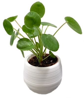 """Chinese Money Plant - Pilea peperomioides in 3"""" White Self Watering Plant Pod"""
