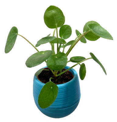 """Chinese Money Plant - Pilea peperomioides in 3"""" Blue Self Watering Plant Pod"""