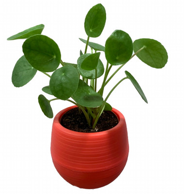 """Chinese Money Plant - Pilea peperomioides in 3"""" Red Self Watering Plant Pod"""