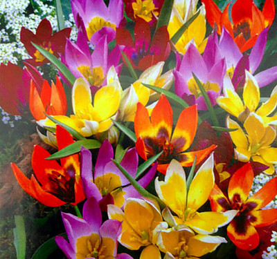 Wildflower Mix Tulip - 35 Bulbs - Very Hardy - 6/+ cm Bulbs