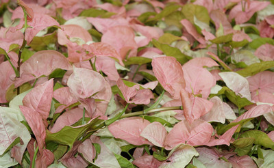 "Pink Arrowhead Plant - Syngonium/Nepthytis - 2.5"" Pot"