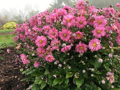 Fall in Love Sweetly Anemone - Windflower - Proven Winners - Gallon Pot