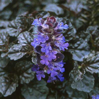 "Black Scallop Bugleweed - Ajuga - NEW! - Darkest Form - 48 Plants - 1 3/4"" Pots"