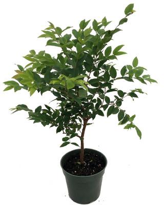 "Jabuticaba Tree - 4"" Pot - House Plant, Outdoors or Bonsai"