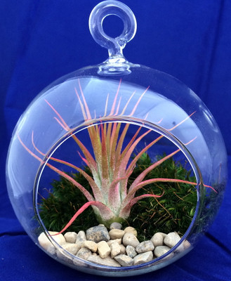 "Air Plant Tillandsia Terrarium Kit, Pebbles & Mood Moss - 4"" Glass Globe"