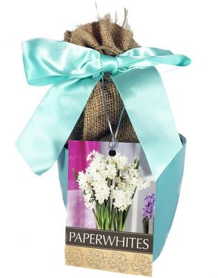 Paperwhite Narcissus Bulbs in Blue Ceramic Planter Kit including Planting Medium