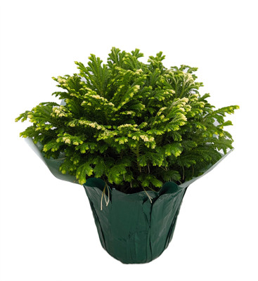 """Frosty Fern - Selaginella - 4"""" Pot with Decorative Pot Cover"""