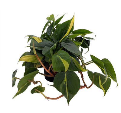 """Brazil Philodendron - 6"""" Pot - Easy to Grow - Low Light"""