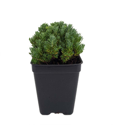 """Little Ness Santolina - Fairy Garden/Rock Garden - 2.5"""" Pot"""
