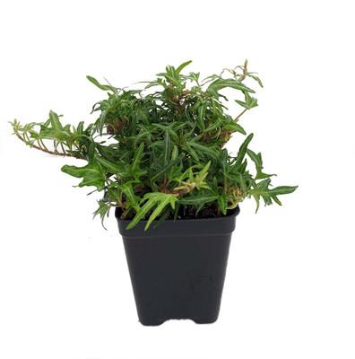 "Feen Finger English Ivy - 2.5"" Pot - Terrarium/Fairy Garden/House Plant"