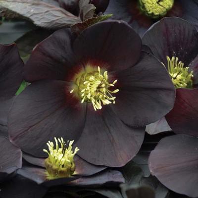 Honeymoon Vegas Nights Lenten/Christmas Rose - Helleborus - SHADE - Gallon Pot