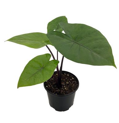"Dark Star Elephant Ears Plant - Alocasia - HUGE LEAVES - 6"" Pot"