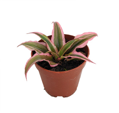 """Pink Earth Star Plant - Cryptanthus - Easy to Grow - 2"""" Pot"""