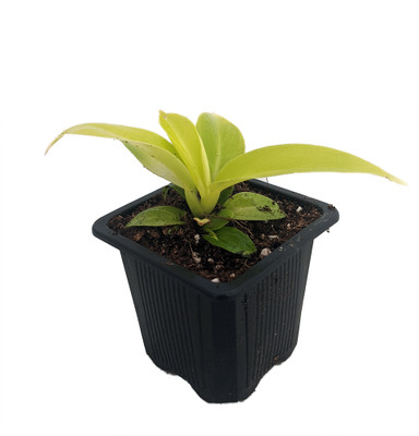 """Moonlight Philodendron - Easy to Grow - 2.5"""" Pot"""