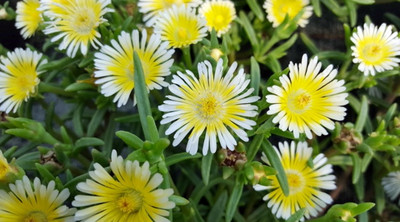 Delosperma WOW (Wheels of Wonder) Limoncello Ice Plant - Live Plant - Quart Pot