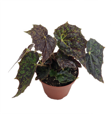 """Black Plover Begonia -3.7"""" Pot - Easy to Grow Blooming Houseplant"""