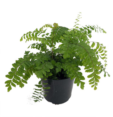 "Indoor MaidenHair Fern - Adiantum - 6"" Pot - Easy to Grow Fern"
