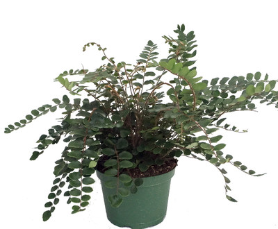 "Button Fern - Pellaea rotundifolia - Unusual House Plant - 6"" Pot"