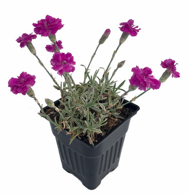 "Edgehog Dianthus - Perpetual Flowering Cheddar Pinks - Fragrant - 4"" Pot"