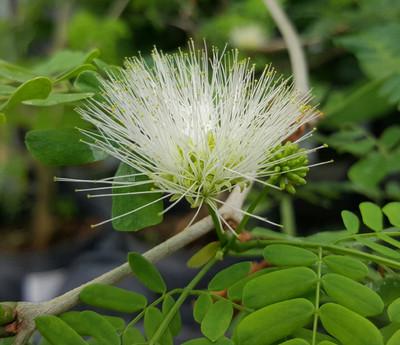 """Brazilian Rain Tree - Pithecellobium - Living Weatherman - Easy to Grow! -6"""" Pot"""