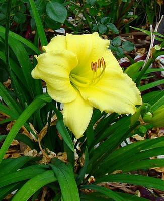 "Stella Supreme d'Oro Daylily Perennial - Hemerocallis -Rebloomer - 4"" Pot"