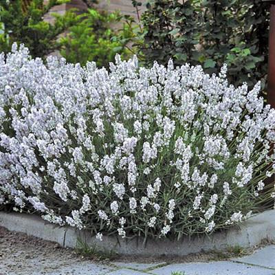 "Ellagance Snow/Ice Lavender -  Lavandula - 4 Plants - 2.5"" Pots"