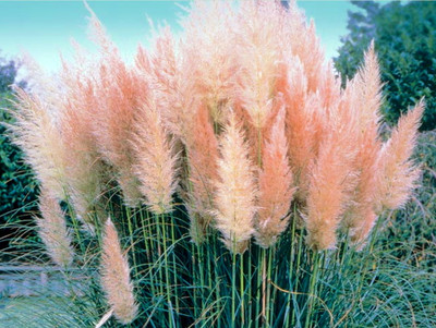 "4 Pink Pampas Grass Plants - Cortaderia selloana rosea - 2.5"" Pot"