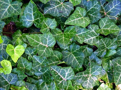 """English Ivy 48 Plants - Hardy Groundcover - Sun or Shade -1 3/4"""" Pots"""