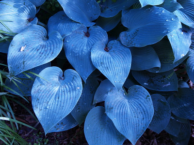 Halcyon Hosta - Gorgeous Medium Size Deep Green/Blue! - Live Plant - Quart Pot
