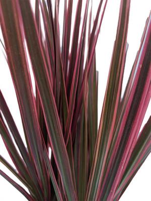 "Bicolor Dragon Tree - Dracaena - 6"" Pot - Easy to Grow House Plant"