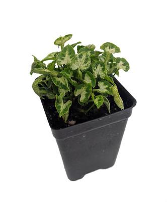 """Tiny White Arrowhead Plant - Syngonium - Nepthytis - 2.5"""" Pot - Fairy Garden"""