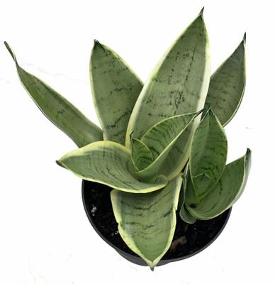 "Rare Night Owl Snake Plant - Sanseveria - 6"" Pot - Collector's Series"