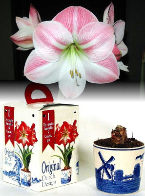 Amaryllis Kit: Delft Ceramic Pot - Soil - Large, Appleblossom Flower Bulb