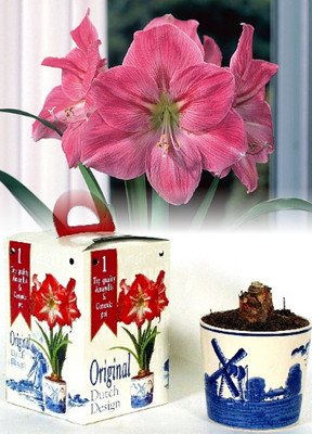 Amaryllis Kit: Delft Ceramic Pot - Soil - Large, Pink Flower Bulb