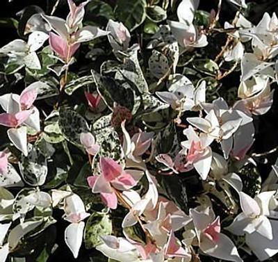 """Tricolor Star Asiatic Jasmine Plant -Trachelosperumum - 2.5"""" Pot"""