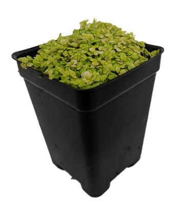 "Golden Baby Tears Plant - 2.5"" Pot - Helxine - Terrarium/Fairy Garden/Houseplant"