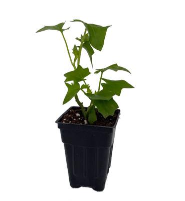 "German Ivy Plant - Senecio - Old Fashioned/Hard to find - 2.5"" Pot"