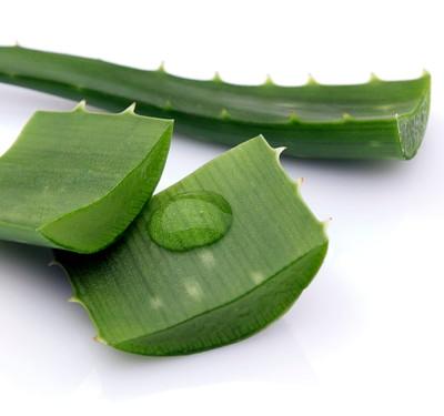 "Aloe Vera - Medicine Plant - Burn Plant - Miracle Plant - Natural Healer -3"" Pot"
