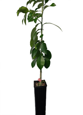 "Ruby Red Grapefruit Tree - 4x12"" Grower Pot - NO SHIPPING, TX, FL, AZ, CA, LA, HI"