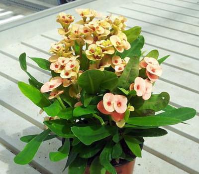 "Zephyr Crown of Thorns Plant - Blush Color - Euphorbia splendens - 2.5"" Pot"