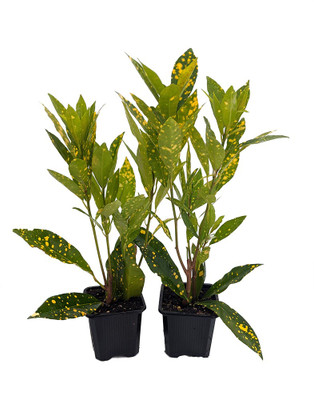 "Gold Dust Croton - 2 Pack 3"" Pots - Colorful House Plant - Easy to Grow"