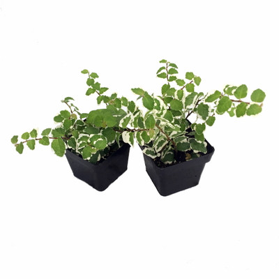 "Creme & Green Creeping Fig 2 Plants - Ficus - 3"" Pot - Terrarium/Fairy Garden"
