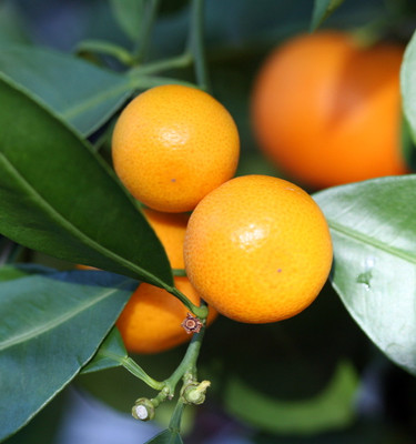 "Panama Orange Tree - Calamondin - 4"" x 12"" Grower Pot- No Ship To CA,FL,TX, AZ"